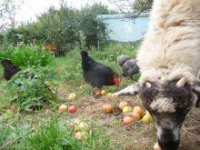 Foto: Permakultur-Garten mit Hühnern, Schaf und Bauwagen
